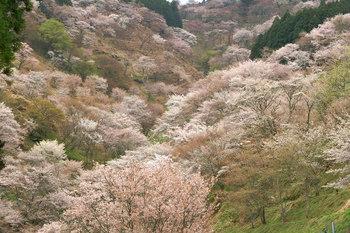 奈良_桜.jpg